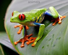 Red Eye Tree Frog by Steve Nelson, via Nature Animals, Animals And Pets, Funny Animals, Cute Animals, Les Reptiles, Reptiles And Amphibians, Frog Pictures, Animal Pictures, Beautiful Creatures