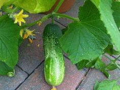Summer House Garden, Home And Garden, Bolet, Vegetable Garden, Flower Pots, Cucumber, Garden Design, Vegetables, Outdoor