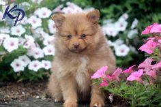 Glitter – Pomeranian Puppy  #pomeranian