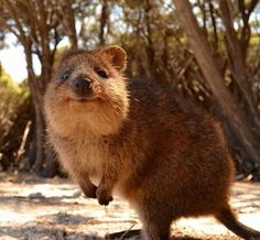 Meet the Quokka, the happiest and most adorable animal out there - Trend Adorable Animals Happy Animals, Animals And Pets, Funny Animals, Cute Animals, Wild Animals Pictures, Animal Pictures, Top 10 Cutest Animals, Quokka Animal, Cute Australian Animals