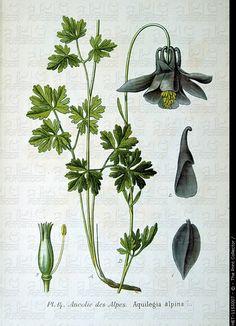 Wheat Botanical Illustration Botanical illustration ofWheat Botanical Illustration