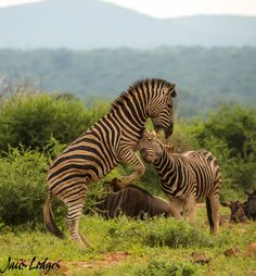 A heated battle between two male zebra was caught on camera by Jaci's Lodges in Madikwe Game Reserve.