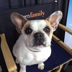 Stella #2 from the Modern Family | Frenchies | Pinterest | Modern ...
