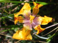 Orquídea del Valle Sagrada del Cusco, Perú.