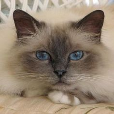 Kitty with Awesome Blue Eyes