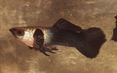 Swordtail Guppies, this is a Panda Moscow Guppy