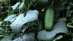 How to Grow Cucumbers … - Garten Landschaftsgestaltung Vertical Vegetable Gardens, Indoor Vegetable Gardening, Vegetable Garden For Beginners, Vegetable Garden Design, Organic Gardening Tips, Gardening For Beginners, Flower Gardening, Container Gardening, Flower Garden Layouts