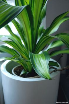 Zimmerpflanzen Schatten zimmerpflanzen tipps für den schatten tolle pflanzen und schicke kübel