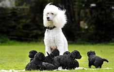 pretty poodle mama with her babies