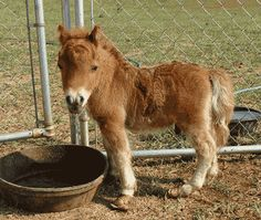 Google Image Result for http://webpages.charter.net/cowgirltoffee/mini-horse.gif