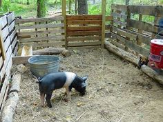 Raising a Pig From a Baby to Butchering Weight