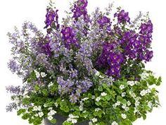 Catmint – How to Grow & Care for Nepeta - Garden Design Flowers Perennials, Planting Flowers, Flower Plants, Herbaceous Perennials, Flower Beds, Landscaping Plants, Front Yard Landscaping, Landscaping Ideas, Flower Garden Plans