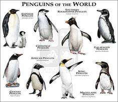 Penguins of the World .....ROGER D HALL.....a scientific illustrator specializing in wildlife and architectural subjects....predominantly self-taught....works with pen and ink....artwork has appeared in numerous media (newspaper, books, website, etc)....a Minnesota native now based in Oakland, California....associated with several zoos and aquariums in the US