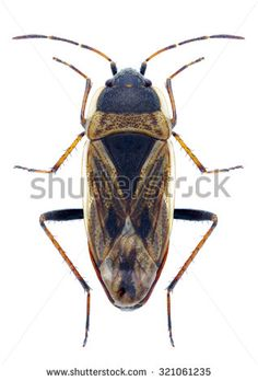 Bug Xanthochilus quadratus on a white background - stock photo