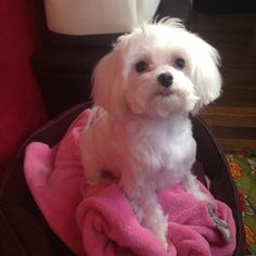 Effie the maltese