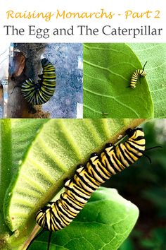 In Part 2 of my raising monarchs series I explore the life cycle of the monarch from egg to caterpillar Life Cycles, Caterpillar, Raising, Plant Leaves, Egg, Explore, Eggs, Egg As Food, Exploring