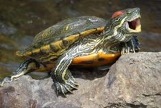 Red Eared Slider Turtle - had one of these bite me ONCE. he lived to tell about it. Small Pet Turtles, Save The Sea Turtles, Cute Turtles, Baby Turtles, Ninja Turtles, Red Ear Turtle, Tortoise Turtle, Turtle Quotes, Red Eared Slider Turtle