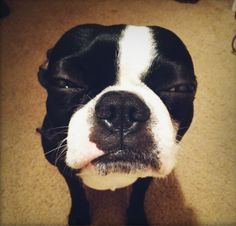 Boston Terrier... stink eye