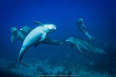 Dolphins, Belize by Tony Rath