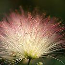 Fiber Optic Mimosa by DebbieCHayes