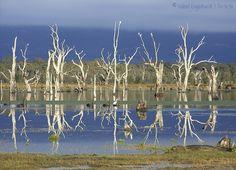 Dead trees in Lake Fyans, Australia