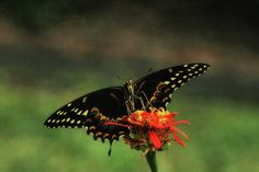 Swallowtail Wingspan by Olahs Photography