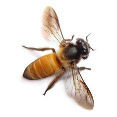 Honey Bee Macro   Flickr - Photo Sharing!