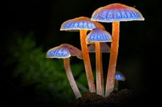 Bioluminscent Mushrooms