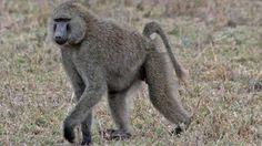 Baboon urine a hit with Zimbabwean women