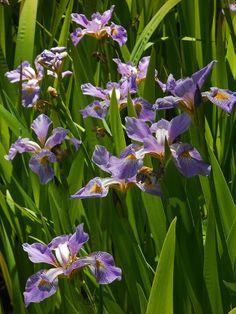 Blue pond iris Pond Plants, Aquatic Plants, Water Plants, Ponds, Iris, Gardening, Blue, Painting, Lawn And Garden