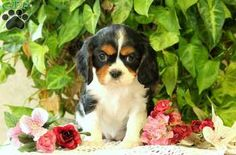 Twilight is a cute Cavalier King Charles Spaniel puppy with a bubbly personality. This fun spirited pup can be registered with the ACA and comes with a health guarantee provided by the breeder. She is vet checked and up to date on shots and wormer. Twilight is family raised with children and loves to romp around and play. To find out how you can welcome home this spunky pup, please contact Lucy today!