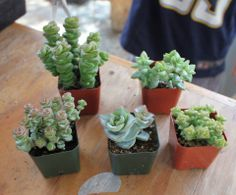"""James is making cuttings from an assortment of Crassulas potted in their plastic 2"""" containers.TheSucculentSource"""
