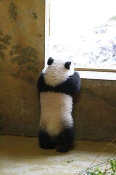 Zoo Aquarium de Madrid presenta la cría de oso panda gigante