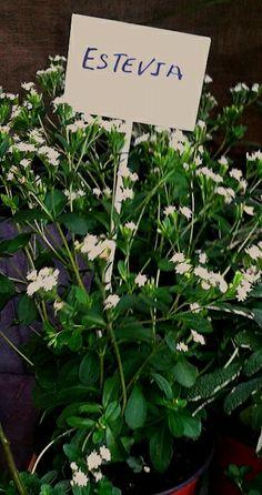 Planta de estevia