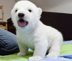Ahh omg a baby polar bear! So cute