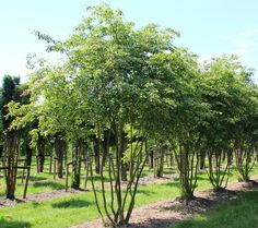 Application, location and plant characteristics of the Amelanchier lamarckii in the Ebben Nurseries TreeEbb. Back Gardens, Small Gardens, Trees And Shrubs, Trees To Plant, Townhouse Garden, Landscape Elements, Border Plants, Woodland Garden, Natural Garden