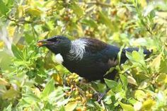 nz Tui feeding