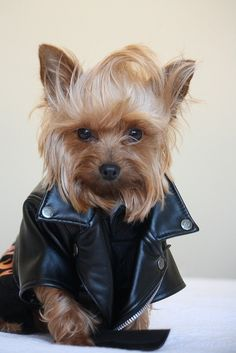 Yes…. this dog is wearing a black leather moto! #stylishdogs