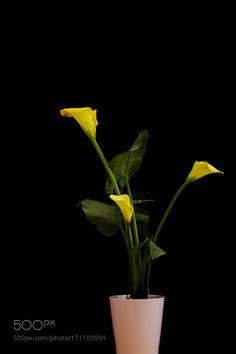 Yellow Aurum Lily Plant by maxrastello. @go4fotos