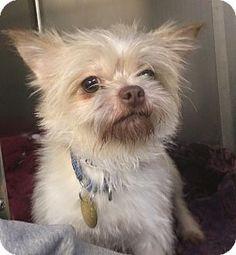★2/28/16 SL★Oak Ridge, NJ - Second Chance Pet Adoption League, Brussels Griffon/Yorkie, Yorkshire Terrier Mix. Meet Hitchcock, a dog for adoption. http://www.adoptapet.com/pet/14236709-oak-ridge-new-jersey-brussels-griffon-mix