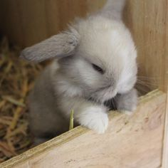 Mummy where are you? I'm patiently waiting for my yums 😍 Mini Lop Bunnies, Cute Baby Bunnies, Mini Lop Rabbit, Holland Lop Bunnies, Cute Little Animals, Cute Funny Animals, Cute Dogs, Fluffy Animals, Animals And Pets