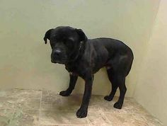 SAFE --- URGENT - Brooklyn Center    KOBE - A0990741   MALE, BL BRINDLE / WHITE, CANE CORSO / PIT BULL, 10 mos  STRAY - STRAY WAIT, NO HOLD Reason STRAY  Intake condition NONE Intake Date 01/31/2014, From NY 11203, DueOut Date 02/03/2014 https://www.facebook.com/photo.php?fbid=750387188307496&set=pb.152876678058553.-2207520000.1391294106.&type=3&theater