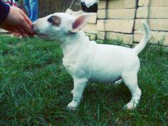 #bullterrier #puppy #dogs