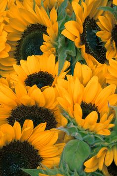 Sunflowers in a Group