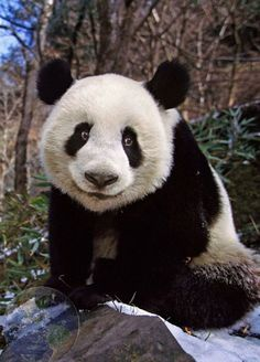 The shy smiler. Panda Day, Panda Love, Cute Panda, Happy Animals, Animals And Pets, Cute Animals, Save The Pandas, Wild Lion, Animal Antics