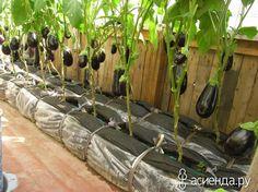 Урожай баклажанов в теплице на грядках-колбасках: Группа Собираем урожай: хвастики, рецепты, заготовки