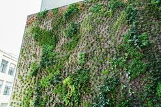 The plant guy at SFMOMA is talking about the challenges of #livingwalls in this post: http://sf.curbed.com/2016/4/29/11540278/sfmoma-living-wall