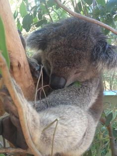 Wondering how long a koala sleeps for? They are mainly nocturnal animals, and will spend about 18–20 hours sleeping because their metabolism is slow. This is an adaptation for handling a diet that is low in nutrition and hard to digest. | www.zoo.org.au