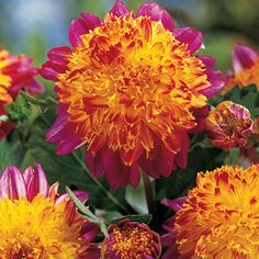 "Boogie Woogie Giant Powder Puff Dahlia  Chaotic Blend of Yellow & Pink  Giant Powder Puff Dahlias are an exciting class coming out of the well known low-growing anemone type. Variety features bright fuchsia petals with a yellow heart,accented with fuchsia tips. Pinching of the secondary blooms will produce even larger showpiece flowers.  Light: Full Sun to Partial Shade  Height: 24-40""  Bloom Time: Midsummer to Frost  Size: Bareroot Tubers  Zones: 3-11 Dig and store frost-free in zones 3-8"