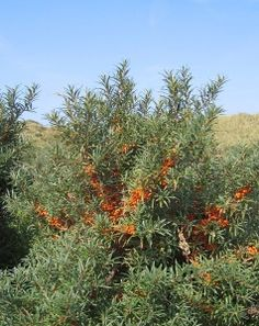 Sea Buckthorn Bush This is one herb in the Woman's formula, but we've released it as a standalone. Loaded with nutrition and tons of different benefits plus it tastes good (if you like sour).
